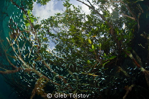 Mangrove forest by Gleb Tolstov 
